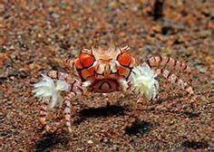 pom pom crabs - saltwater aquarium cleaner crabs