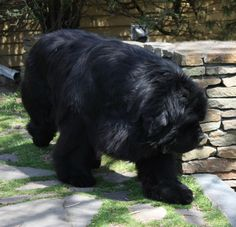 "Newfoundland dog: DreamTime Bowater's the Untouchable-""Capone"" (credit DreamTime Newfs)"
