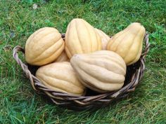 Thelma Sanders Winter Squash is light and creamy with a distinctive, sweet taste of autumn. A real treat when baked and buttered. Also makes great squash soup.