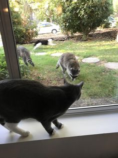 Cat meets raccoons. B/W cat getting the heck out.