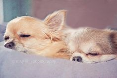 Sleeping Chihuahua | photo