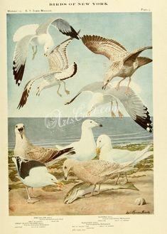 Ring-billed Gull, Herring Gull, Great Black-backed Gull, Glaucous Gull, larus delawarensis, larus argentatus, larus marinus, larus glaucus      ...