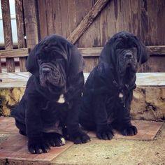 NEW ENTRY!!! Foreman & Divina, età nella foto: 75 giorni - proprietà: Allevamento di Fossombrone & Egidio Guttadauro.  #Puppies #WeAreFossombrone #MastinoNapoletano