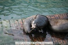 Sea lion on a floating pier in Newport, Oregon. We've seen 100s here and they have destroyed many of the piers with their weight!