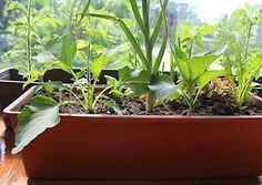 Für Topfgärtner ist jedes Gemüse einen Versuch wert. Jedoch eignen sich manche Sorten besser als andere.