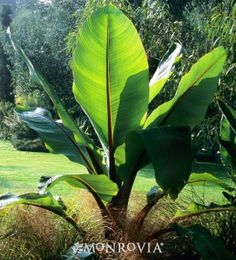 Banana plants | Abyssinian Banana (Ensete ventricosum) - Monrovia - Abyssinian Banana ...