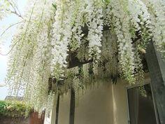 .white wisteria