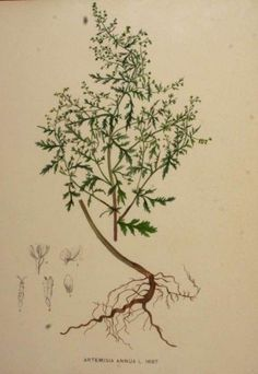 """Amazing Herb Kills 98% Of Cancer Cells In Just 16 Hours - artemisinin, a """"Sweet wormwood"""" or """"Artemisia Annua"""" derivative"""