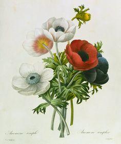 pierre joseph redoutè: anemone: simple, from les choix des plus belles fleurs