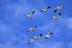 Berkeley Pit Goose Die-off by Laura Erickson http://focusingonwildlife.com/news/berkeley-pit-goose-die-off/