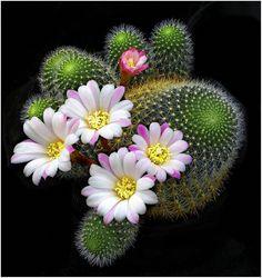 "Cactus Plant (rebutia narvacense) ~ Miks' Pics ""Flowers lll"" board @ www."