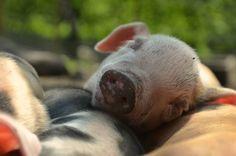 sleepy piglet!