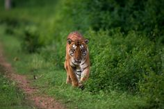 Tiger sighting at Bandipur National park. Image courtesy- Sudhir Shivaram