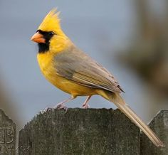 ~~ EXTREMELY RARE YELLOW CARDINAL ~~ CAPTURED BY: ~ JEREMY BLACK PHOTOGRAPHER ~~~~~