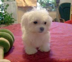 Maltese puppy.