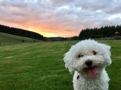 My goofy doggo #Cutedogs #boopthesnoot #cuddle #fluffy #animals #aww #socute #puppy #bestfriend