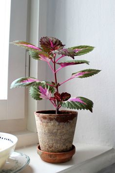 Coleus. Easy to root just in water, keep your favorites over winter, warm sunny window.