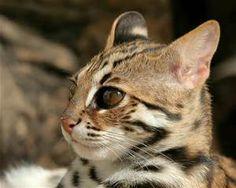 asian leopard cat - Bing images