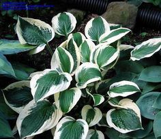Hosta 'Patriot'~ We have these lining our pathway to the front door~ they get a little morning sun and lots of moisture~ they are thriving! :)