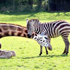 Giraffe and Zebra getting along just fine...
