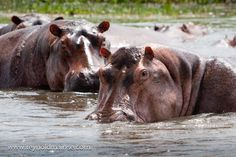 Hippos @ Murchison Falls National Park in #Uganda. Check our reviews of #murchison falls. Photo by Reynold Mainse.