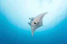 Close encounters with manta rays http://www.happytrips.com/things-to-do/close-encounters-with-manta-rays/as45370855.cms?utm_source=pinterest.com&utm_medium=social&utm_campaign=mp