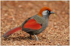 Red-tailed Laughingthrush - Trochalopteron milnei