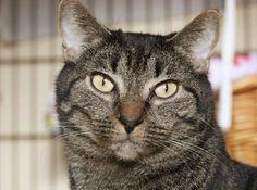 Mimi-an-adoptable-cat-in-Alabama