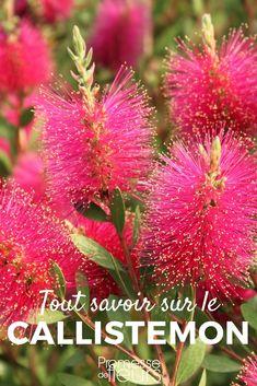 Le Callistemon ou Rince-bouteille est un arbuste à fleurs en forme de goupillons colorés. Découvrez tout ce qu'il faut savoir pour bien le planter au jardin et nos conseils pour le tailler et l'entretenir. #jardin #jardinage #arbuste