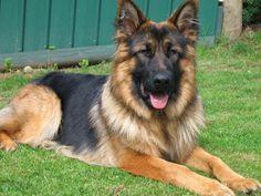 Long Haired German Shepherd | Dog Breeds WallpapersDog Breeds Wallpapers