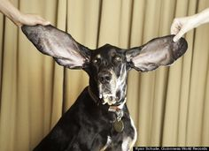 A Black and Tan Coonhound named 'Harbor', aged from Boulder, Colorado, USA, has earned a spot in the Guinness World Records 2012 Edition for having the Longest Ears on a Living Dog. Beagle, I Love Dogs, Cute Dogs, Funny Animals, Cute Animals, Tallest Dog, Guinness World, Guinness Book, Dog Facts
