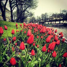 Aurajoki, Turku - Tulips by the river