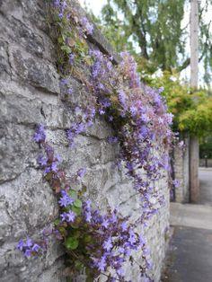 Bristol street flower - purple Campanula