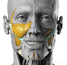 Risultati immagini per anatomy of facial expressions uldis zarins Face Muscles Anatomy, Muscles Of The Face, Facial Anatomy, Head Anatomy, Anatomy Poses, Muscle Anatomy, Anatomy Study, Body Anatomy, Anatomy Art