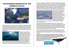 The Marine Research Institute of Iceland and Whales of Iceland have been satellite tracking 3 Humpback Whales since the fall of The Research shows that more and more Humpbacks stay in Icelandic waters all year long ! Whale Facts, Humpback Whale, Killer Whales, Whale Watching, Iceland, Northern Lights, The Incredibles, Tours, Adventure