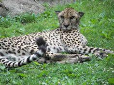 Cheetah - May 2006 - The Memphis Zoo