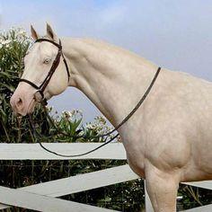 Raleighs Full Moon.....American Warmblood....Cremello Palomino.