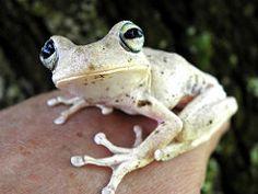 Frog on top of my hand / Rana sobre mi mano (jjrestrepoa (busy)) Tags: colombia frog rana córdoba amphibious anfibio ayapel batracio