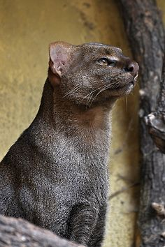 Jaguarundi ~ The jaguarundi, also called eyra cat, is a small-sized wild cat native to Central and South America.