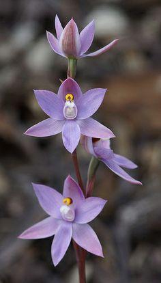 Thelymitra hybrid