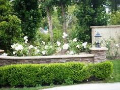 One of my favorite combinations is many Icebergs, a few olive trees, and Ligustrum japonicum. The crisp white flowers, the dusty olive folia...