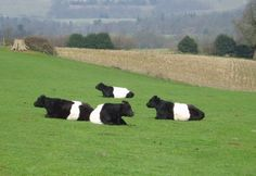 Belted Galloways--amazing looking cattle Farm Animals, Animals And Pets, Cute Animals, Galloway Cattle, Mini Cows, Longhorn Cow, Holstein Cows, Happy Cow, Animals