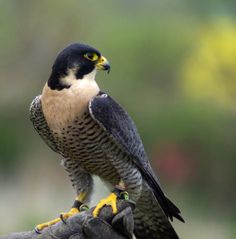 Egan our Peregrine Falcon by Debbie Rolph