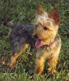 Petfinder  Adoptable | Yorkshire Terrier Yorkie | Dog | Wright City, MO | Molly