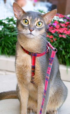Meet Racy Mooner, an Elegant and Athletic Abyssinian Cat | Catster (what a beautiful boy!)
