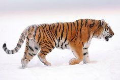 The Siberian Tiger - Amur Leopard Tiger Drawing, Tiger Art, Tiger Cubs, Bear Cubs, Tiger Tiger, Majestic Animals, Animals Beautiful, Beautiful Creatures, Tiger Fotografie