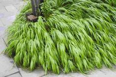 Another favorite for the shade garden. Hakonechloa grass comes in a few variations included variegated and an 'All Gold' variety. All have excellent foliage effect and add subtle winter interest.