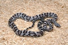 Sunkissed Anery Corn Snake