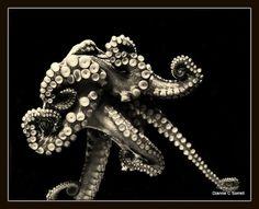 Octopus Curls | Flickr - Photo Sharing! Cute Octopus, Octopus Tentacles, Octopus Art, Octopus Tattoo Design, Octopus Tattoos, Beautiful Creatures, Animals Beautiful, Octopus Photography, Underwater Photography