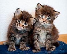Maine Coon Kittys